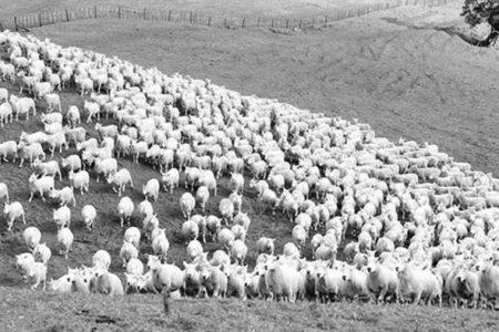 İşte '300 Koyun Projesi'nin Detayları