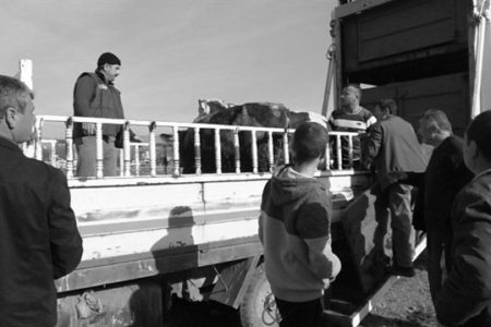 Genç Çiftçi Projesi Devam Ediyor: 42 Düve Teslim Edildi